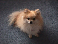 Wolf is a seven year old Pomeranian.