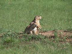 Prairie dogs at Devil's Tower