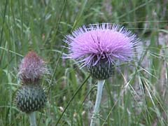 Thistles at Devil's Tower