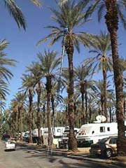 date trees at Palm Springs TTN