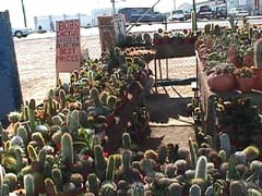 Any cactus you want